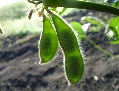 Soja of soya is geen mirakel voedsel. Veggie of niet
