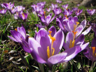 Hoe kun je de kwaliteit van saffraan achterhalen?