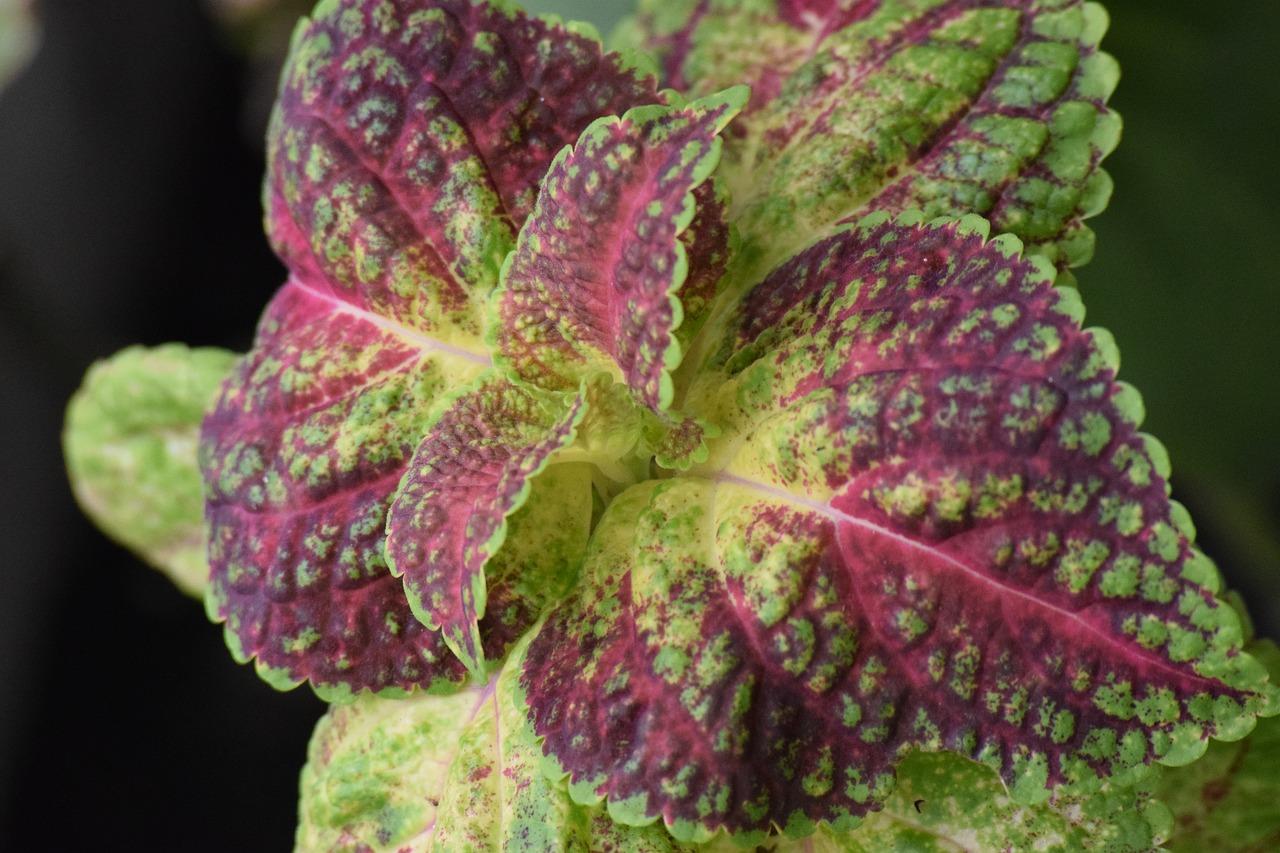 feuilles de perilla / Shiso