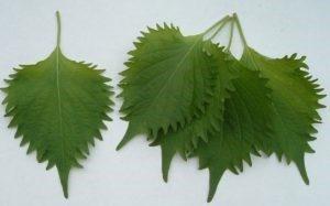 feuilles de perilla