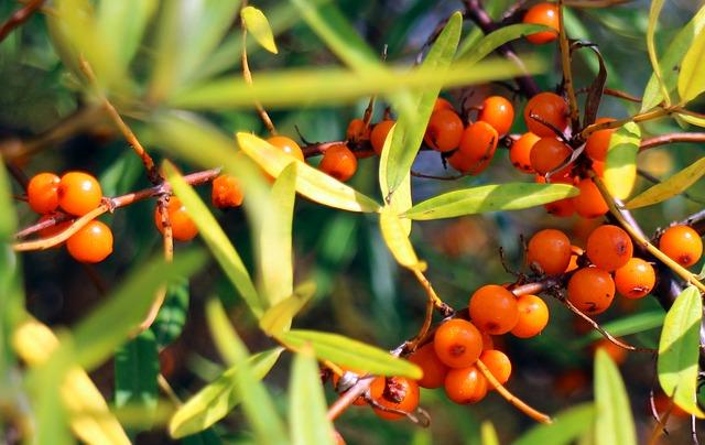 duindoorn* (Hippophae Rhamnoides), : Als adaptogeen stimuleert duindoorn