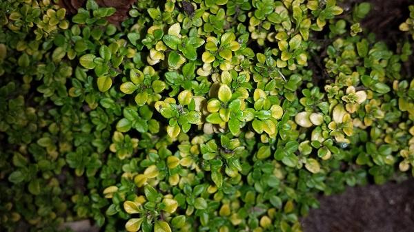 Adaptogene sind Heilkräuter und Pflanzen, die in den Botanivo-Mischungen von Amanprana vorkommen