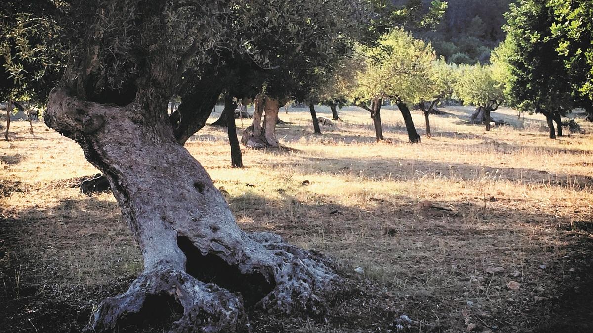Olivenbäume in einem olivgrünen Feld mit viel Platz.