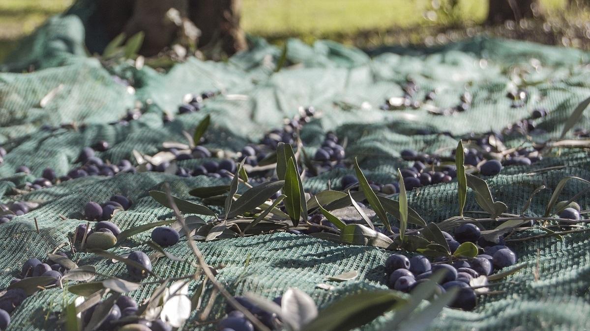 Oliven fallen vom Baum selbst, wenn sie gut sind und von Netzen gefangen werden.