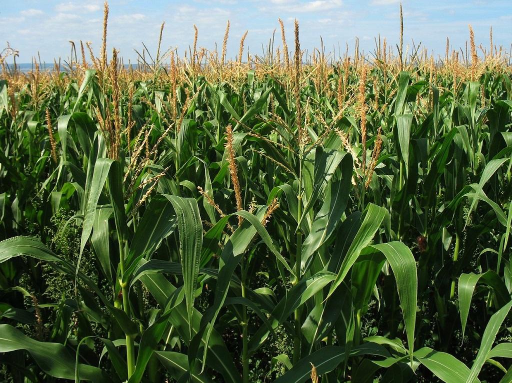 Bloem van mais, haver, boekweit, quinoa zijn rijk aan lectines.