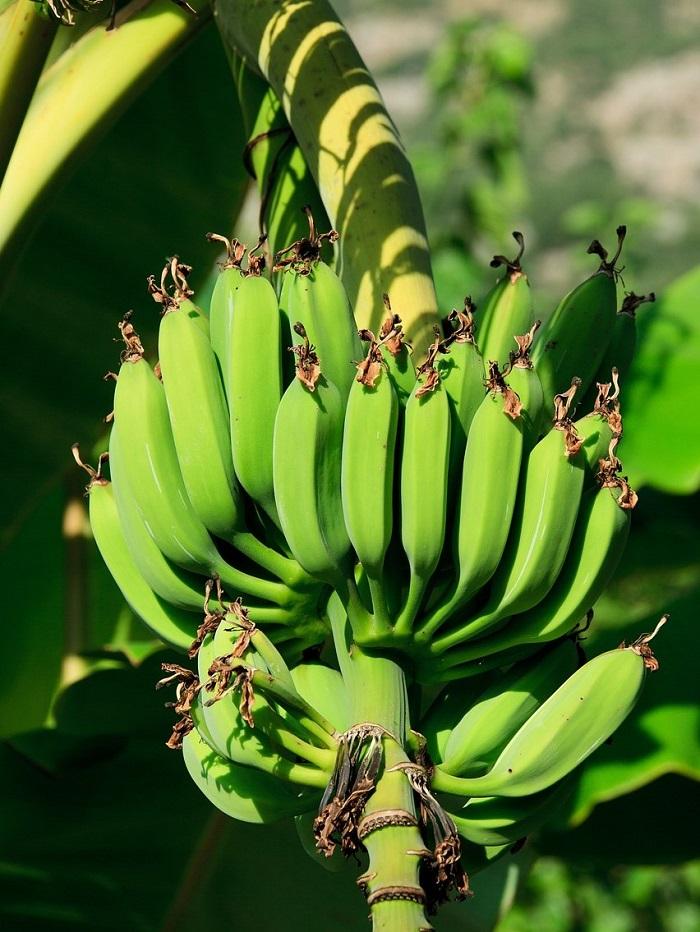 Onrijpe bananen in een tros. Groene bananen zitten vol lectines.