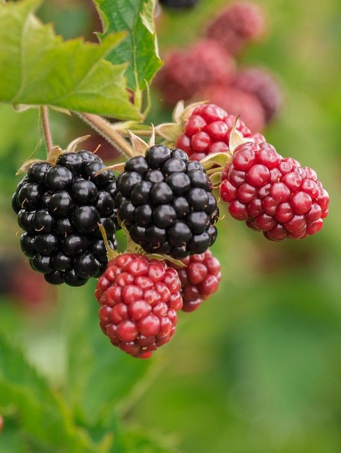 Unripe blackberries. Blackberries that are not ripe are full of lectins.