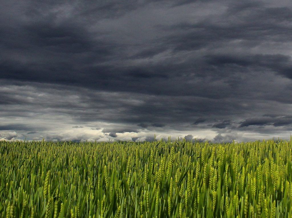 champ de maïs avec de gros nuages noirs