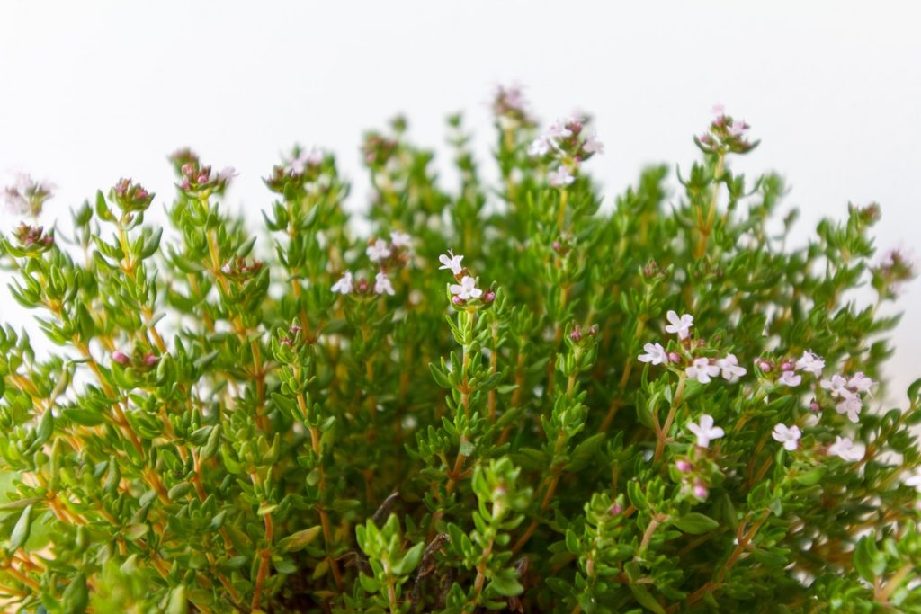 The many names of white thyme