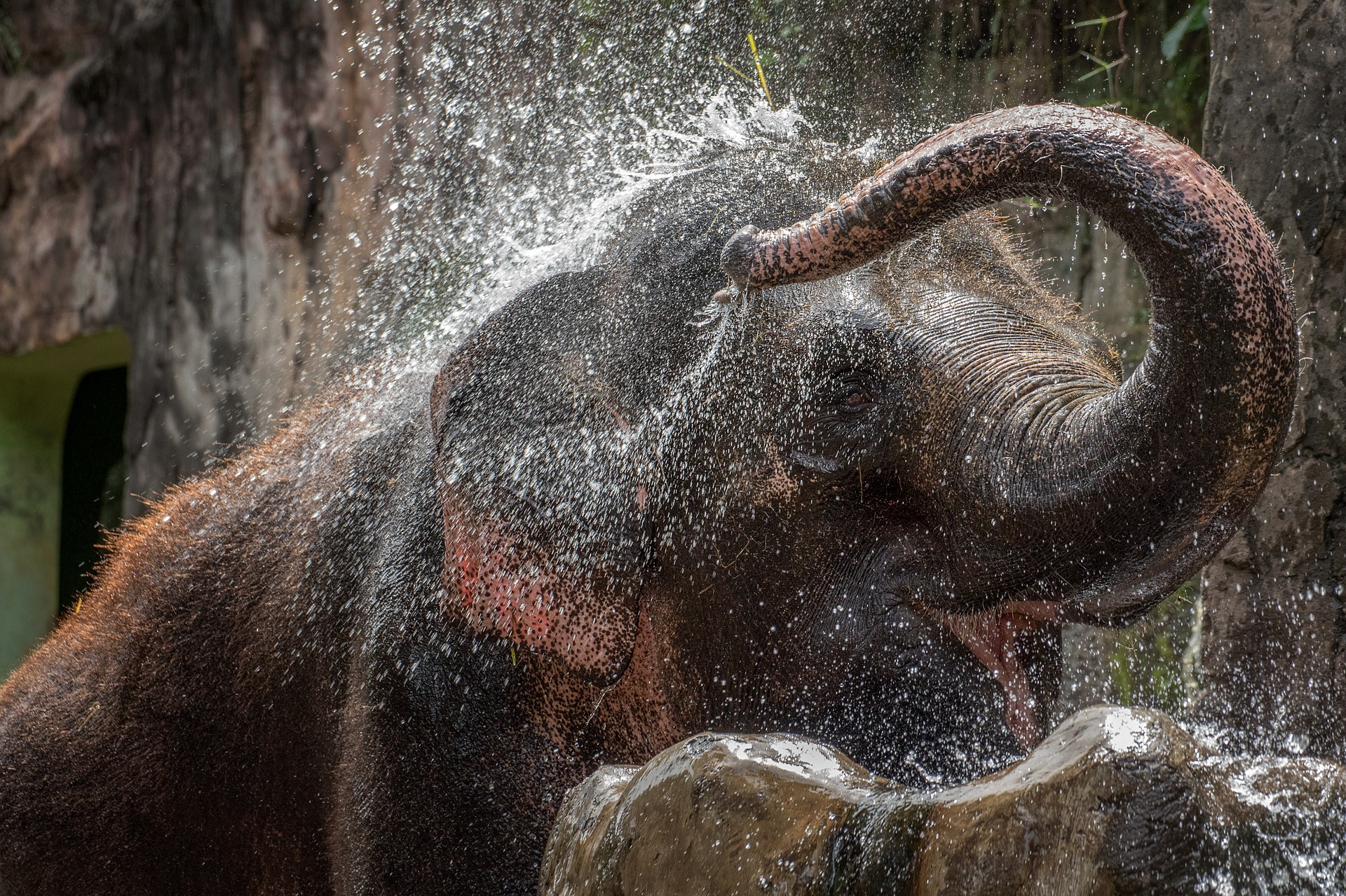 elephant pours water over his body